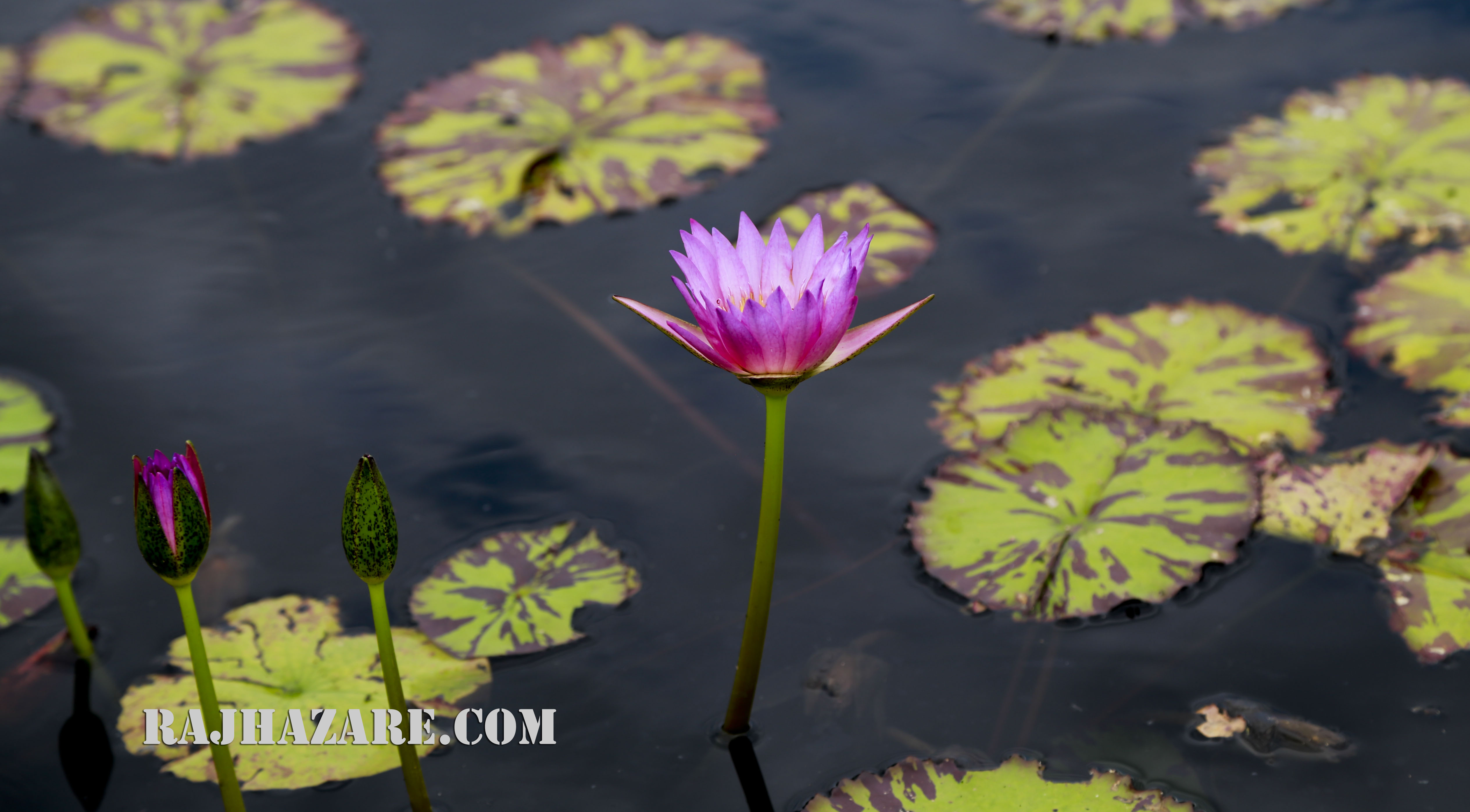 Lotus Flower. Photo by Raj H.