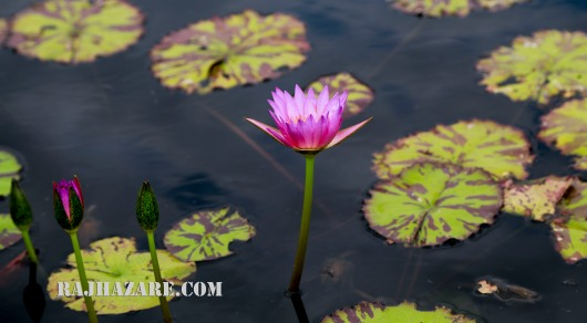Lotus Flower. Photo by Raj H.